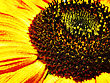 Sunflower. Abstract Natural Backgrounds stock photo