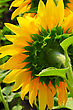 Sunflower Back Close Up stock image