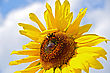 Sunflower With A Bumblebee On A Background Of Blue Sky And White Clouds stock photo