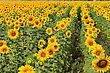 Sunflower Field With Daylight Background stock photography