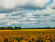 Sunflower Fields Under The Moody Skies, Summer Natural Landscape stock photo