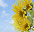 Sunflowers Against A Blue Sky stock photography