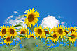 Sunflowers Bloom Over A Blue Sky Background stock photography