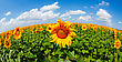 Sunflowers Field Under Bright Sky stock image