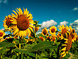 Sunflowers Field Under Golden Summer Sun stock image