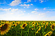 Sunflowers Field Under The Blue Sky stock photography