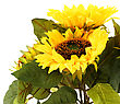 Sunflowers In Vase Isolated On White Background stock photo