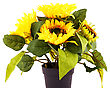 Sunflowers In Vase Isolated On White Background