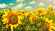 Uncultivated Sunflowers Under The Blue Sky. Beautiful Rural Scene stock photography