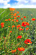 Sunny Summer Day In Meadow Full Of Blooming Poppies stock photography