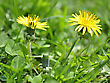 Sunny Yellow Dandelions, Close Up stock photography