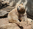 Predators Syrian Bear With Light Fur At The Zoo stock photography