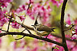 Small Taiwan Yuhina Attract Honey Of Pink Cherry Blossoms Tree In Forest ,Yuhina Brunneiceps stock image