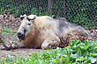 Takin Laying Down At The MN Zoo. stock image