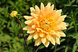 Tall Dahlia Plant With Large Flowers In The Garden stock photography