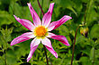 Tall Dahlia Plant With Large Flowers, Variety Marie Schnugg stock image