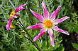 Flowerbed Tall Dahlia Plant With Large Flowers, Variety Marie Schnugg stock photo