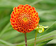 Floriculture Tangerine Dahlia, Bright Orange Ball-shaped Flower On A Green Background stock photography