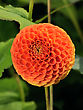 Tangerine Dahlia, Bright Orange Ball-shaped Flower On A Green Background