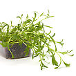 Artemisia Tarragon Spice Isolated On White Background stock photo