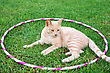 Tawny Cat On Green Grass In Hoola Hoop stock image