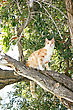 Tawny Cat On Eucalyptus Tree stock photography
