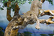 Taxidermy Of A Leopard Jumping From A Tree stock image