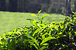 Tea Leaves On Plantation, India stock photo