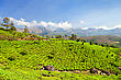Vibrant Tea Plantation In Munnar, India stock photo