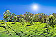 Cultivated Tea Plantation In Munnar, India stock photography