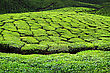 Tea Plantation In Munnar, Kerala State, India