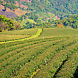 Tea Plantation In Village Mae Salong, Chiang Rai, Chiang Mai Province, Thailand stock photography