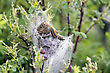 Tent Caterpillar Nest In Saskatchewan Canada Scenic stock image