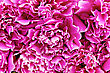 Texture Of Bright Pink Peony Petals stock image