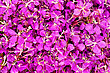 Texture Of The Flowers Of Pink Fireweed stock photography
