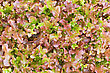 Texture Of The Leaves Of Red Lettuce stock image