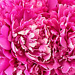 Texture Of The Petals Of Pink Peonies stock photo