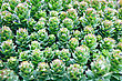 Texture Of The Plant Rhodiola Rosea With Water Drops stock photo