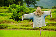 Thai Scarecrow In Rice Green Field