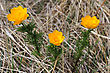 Three Beautiful Flower, Trollius stock image