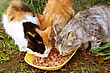 Cats & Kittens Three Cats Having A Breakfast stock photography