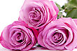 Three Fresh Pink Roses stock photography