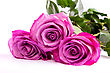 Three Fresh Pink Roses Isolated On A White Background stock image
