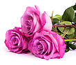 Three Fresh Pink Roses Isolated On A White Background stock photo