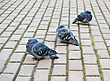 Three Pigeons In The Park stock photo