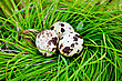 Three Spotted Quail Eggs In A Nest Of Green Grass stock photo