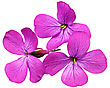 Three Violet Flowers.Closeup On White Background. Isolated stock photo