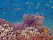 Softcoral Thriving Coral Reef Alive With Marine Life And Shoals Of Fish, Bali stock photo