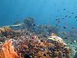 Softcoral Thriving Coral Reef Alive With Marine Life And Shoals Of Fish, Bali stock image