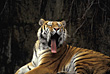 Tigers Tiger Yawning stock photography